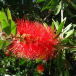 bottlebrush blossom