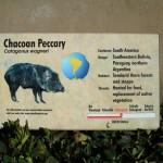 Chacoan Peccary