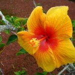 yellow & red hibiscus