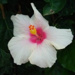 white red hibiscus